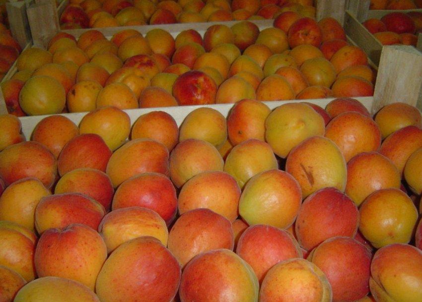 Сбор урожая абрикос