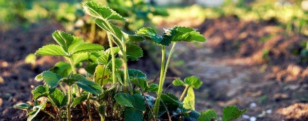 Чем подкормить клубнику после плодоношения? Подкормка в июле после сбора урожая и обрезки, чем нужно удобрять летом