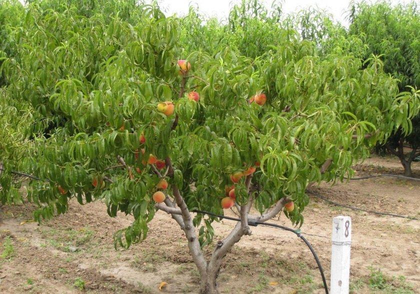 Персиковое дерево сорта Редхейвен