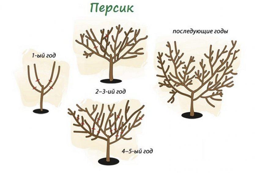 Формировка персикового дерева