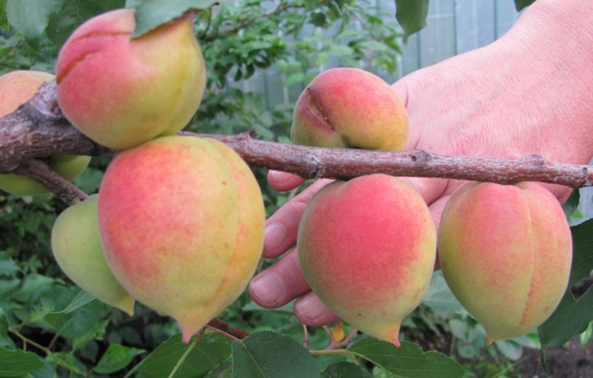 Плоды абрикоса сорта Академик