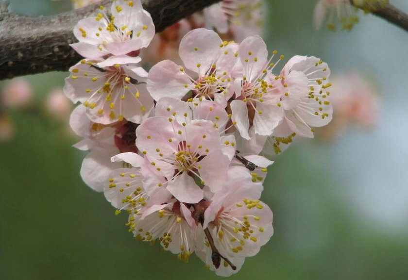 Цветение абрикоса Академик