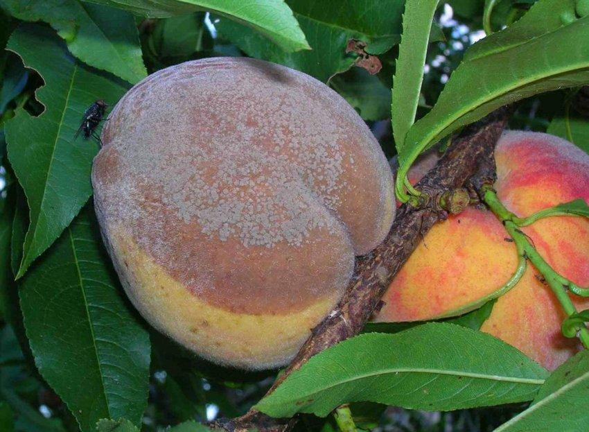 Плодовая гниль персиков