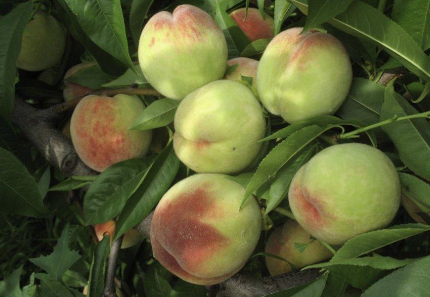 Персик Донской морозоустойчивый