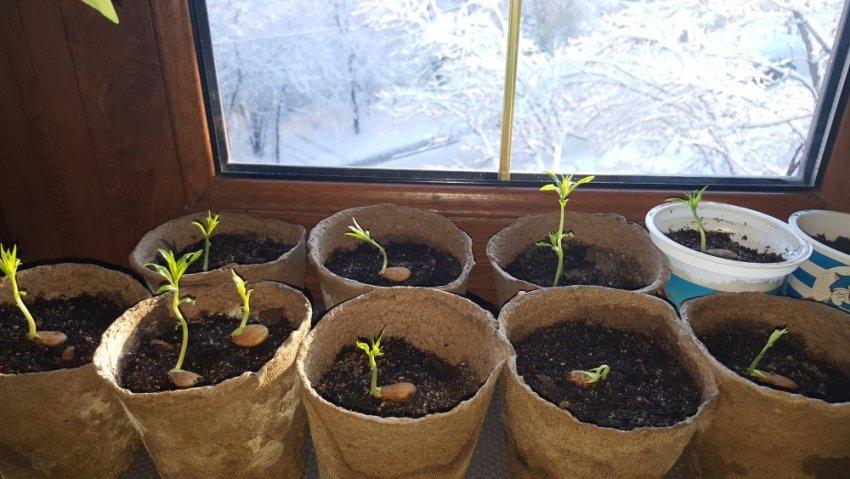 Проращивание персиковых косточек
