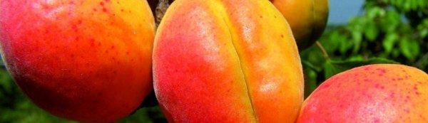 Описание сорта абрикоса Краснощекий