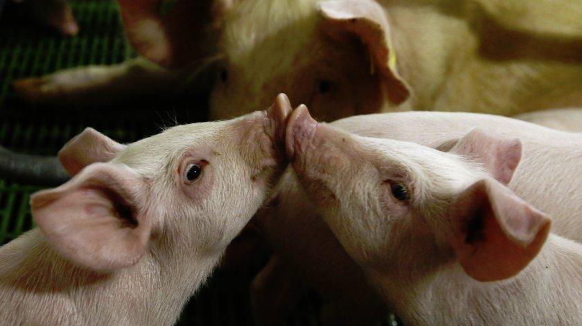 Прибыль от свиней