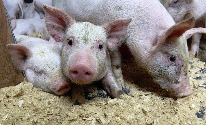 Документы на свиней