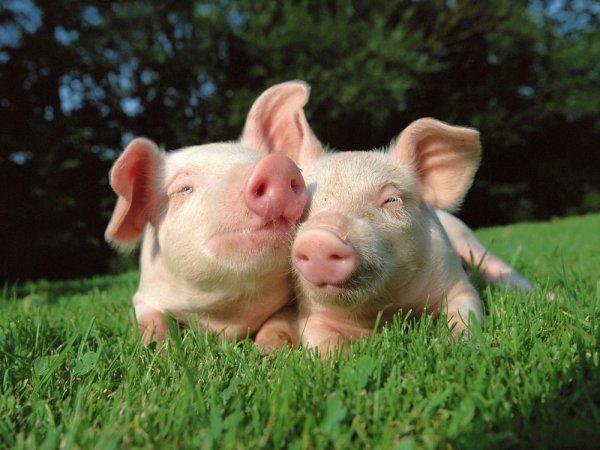 Спаривание свиней крупным планом