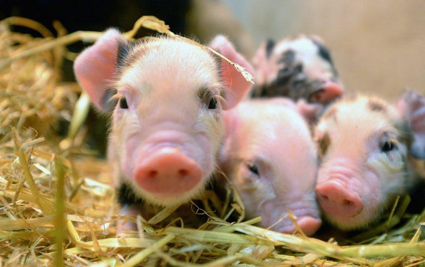 На бурятских просторах «тают» коровы, свиньи и птицы