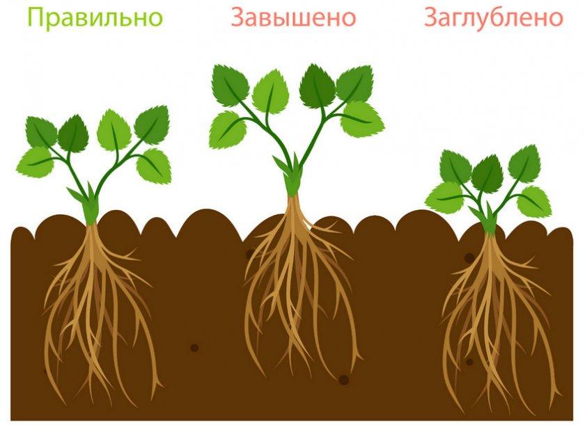 Как правильно посадить клубнику