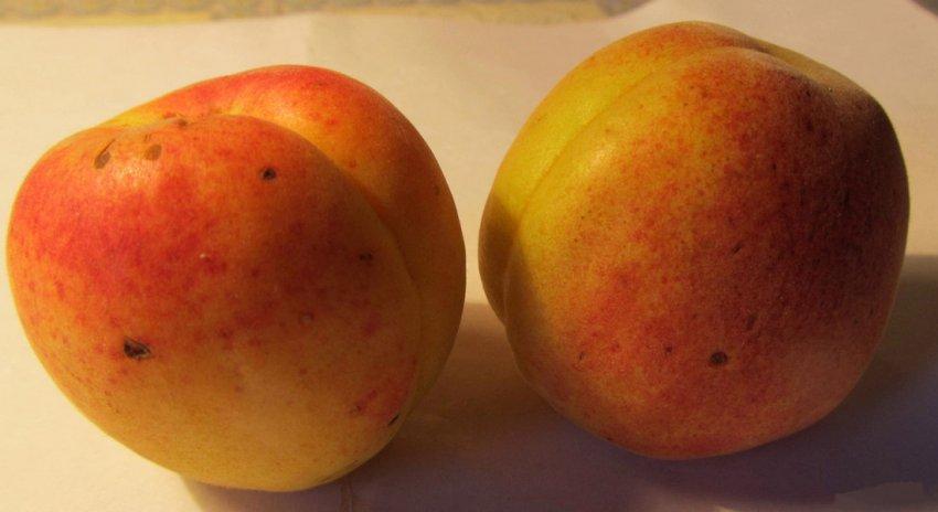 Плоды абрикоса сорта Полесский крупноплодный