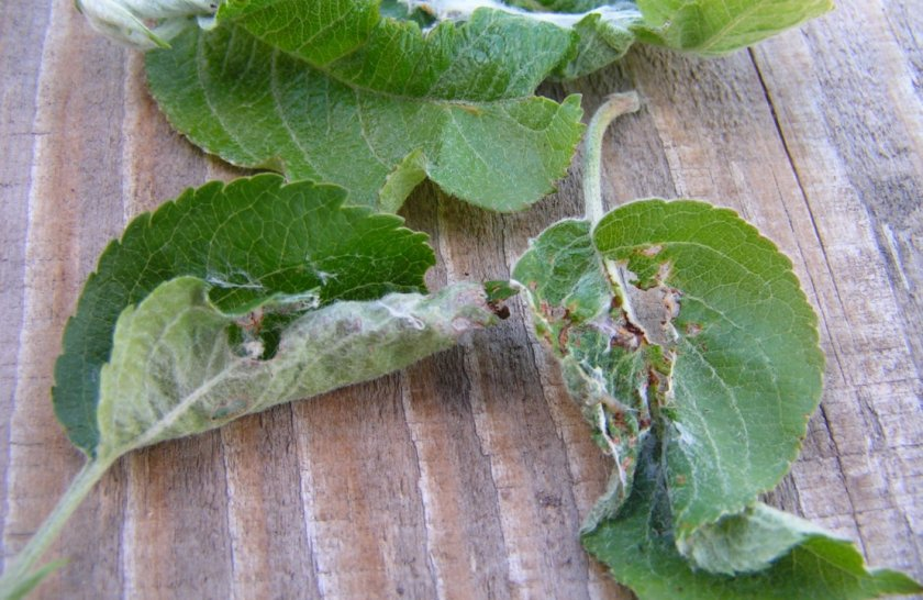 Листья листовёртки поражённые листовёрткой
