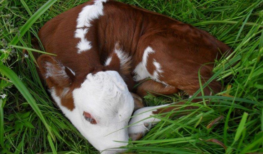 Болезни теленка