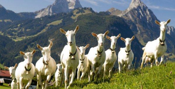 Разведение коз на личном подворье – пошаговая инструкция
