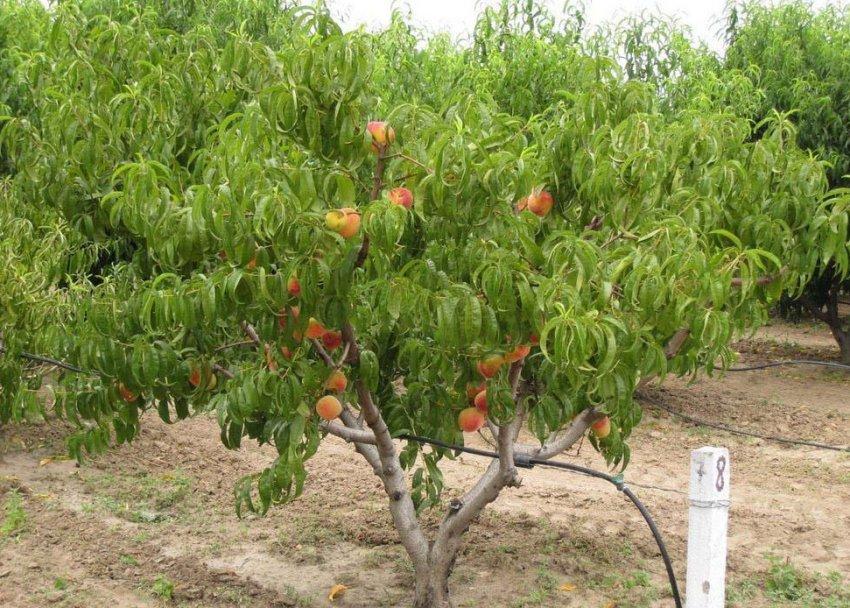 Дерево персика сорта Сибиряк