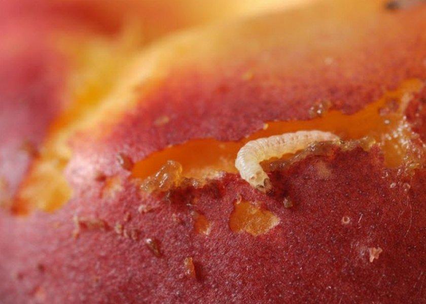 Личинка плодожорки на абрикосе