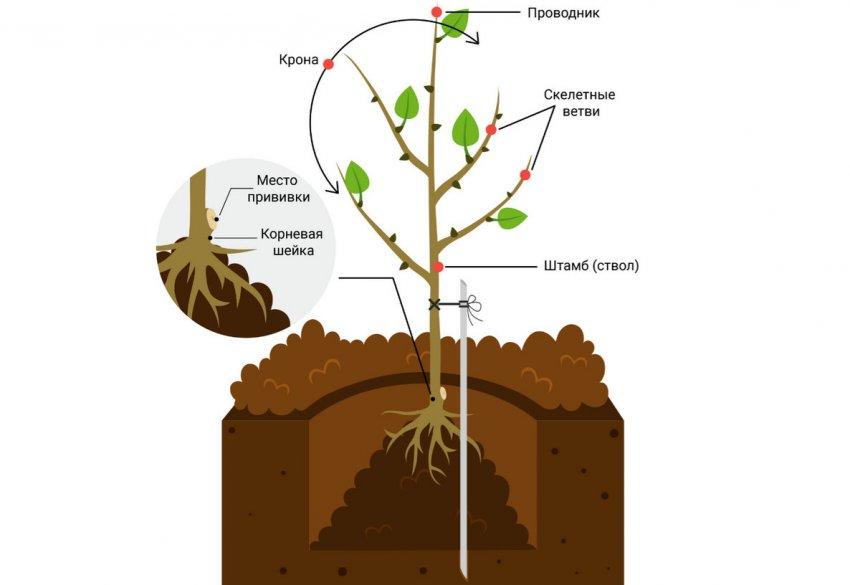 Схема посадки саженца персика