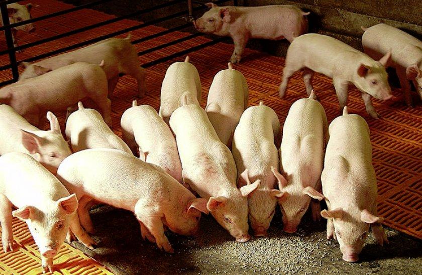 Откорма свиней в летнее время
