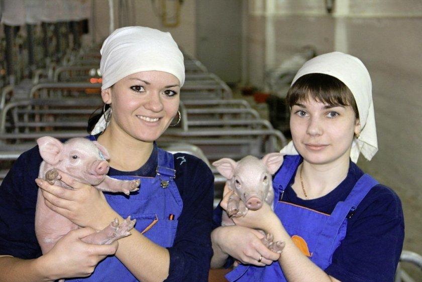 Наёмный персонал на свиноферму