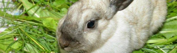 Стимуляция охоты у крольчих