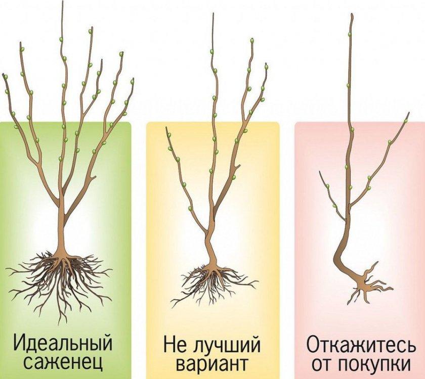 Саженцы плодового дерева