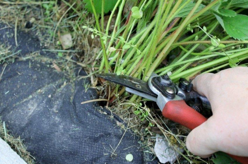 Обрезание листьев клубники