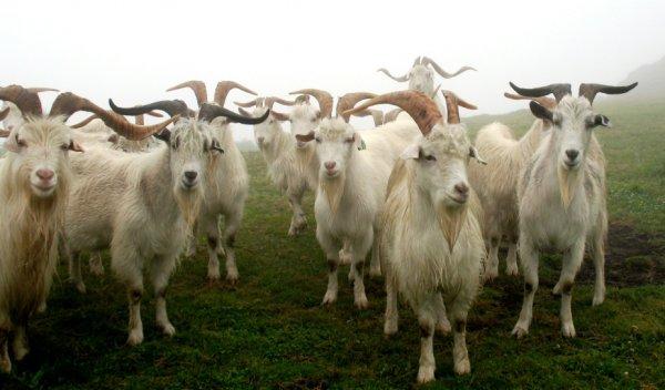Что делать чтобы коза пришла в охоту