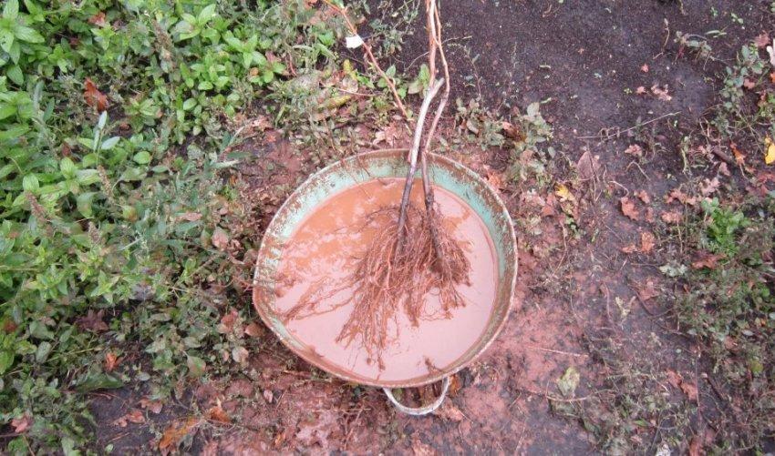 Замачивание корней саженца в глиняной болтушке