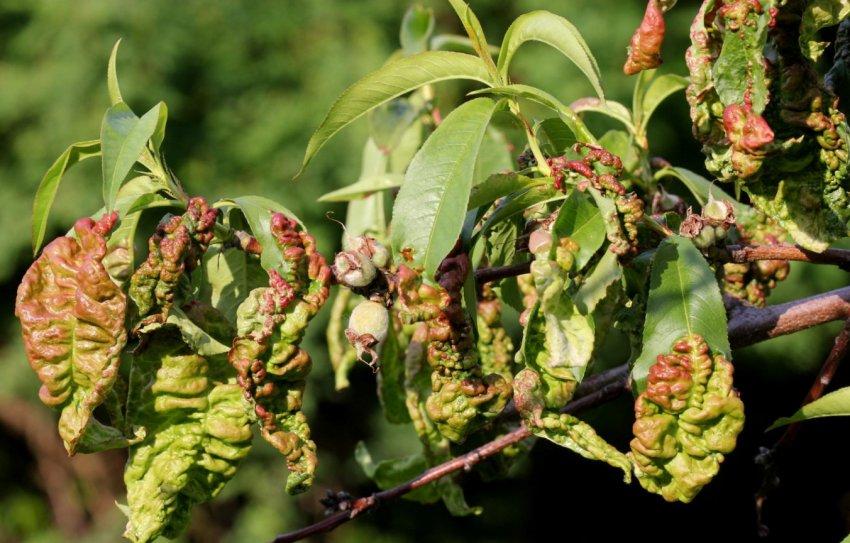 Курчавость листья персика