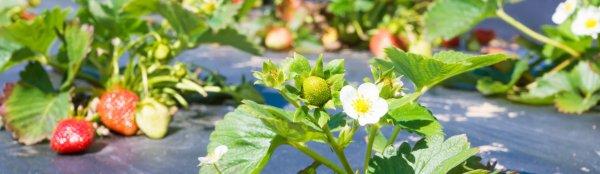 Уход за клубникой осенью и весной