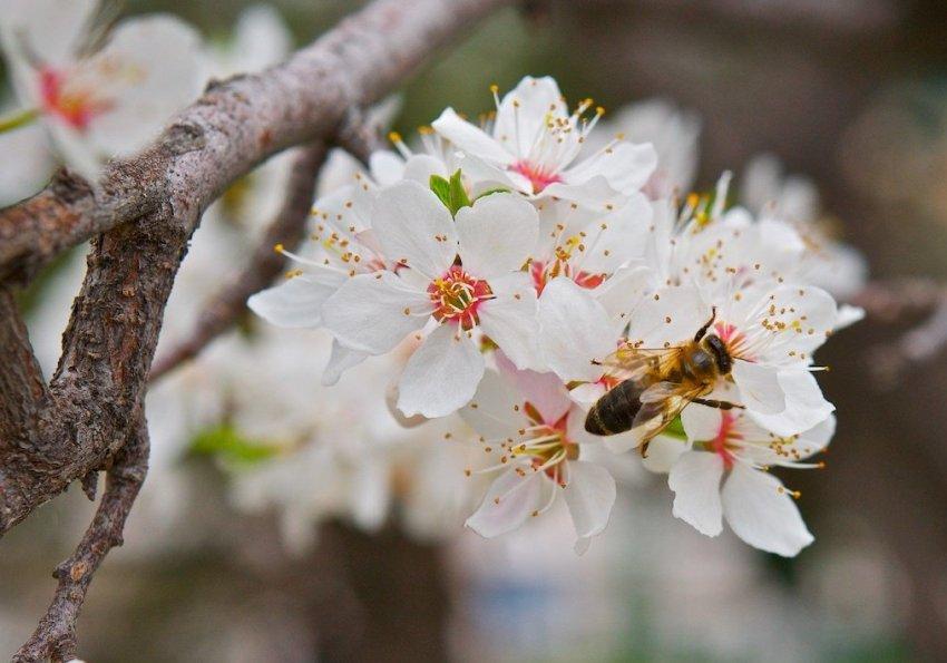 Цветение абрикоса сорта Ананасный