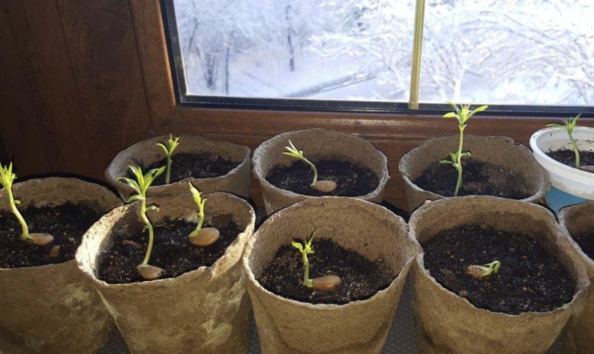 Проросшие семена персика