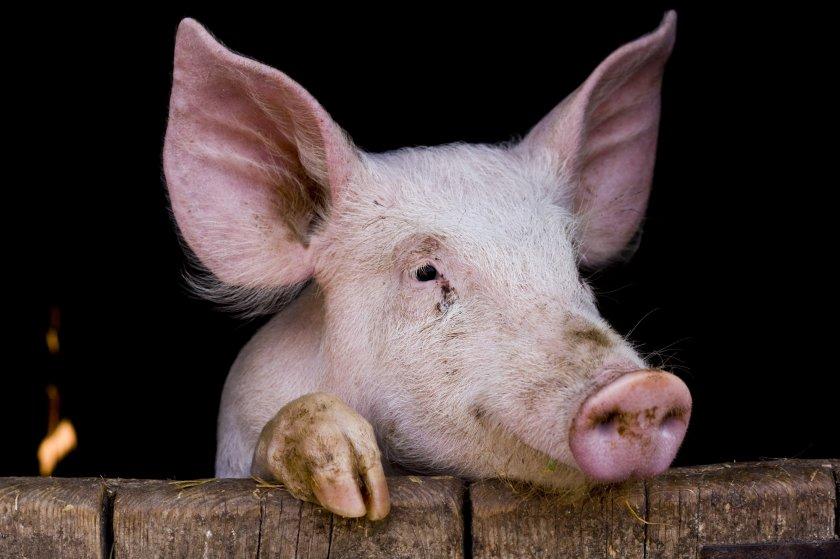 В каком возрасте свиньи готовы