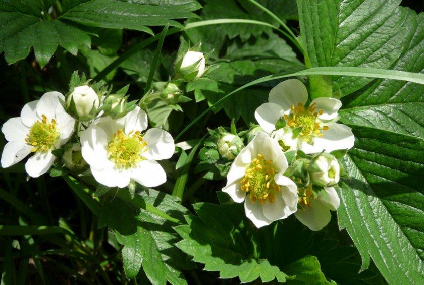 Цветение клубники