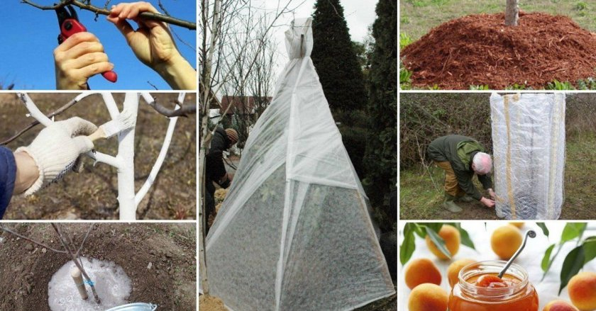 Подготовка абрикоса к зимовке