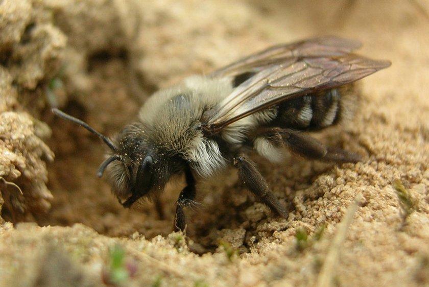 Земляные пчёлы в природе