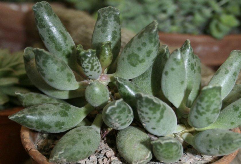 Адромискус Пельнитца