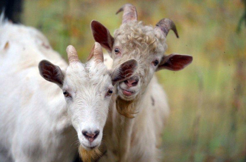 Охота у козы