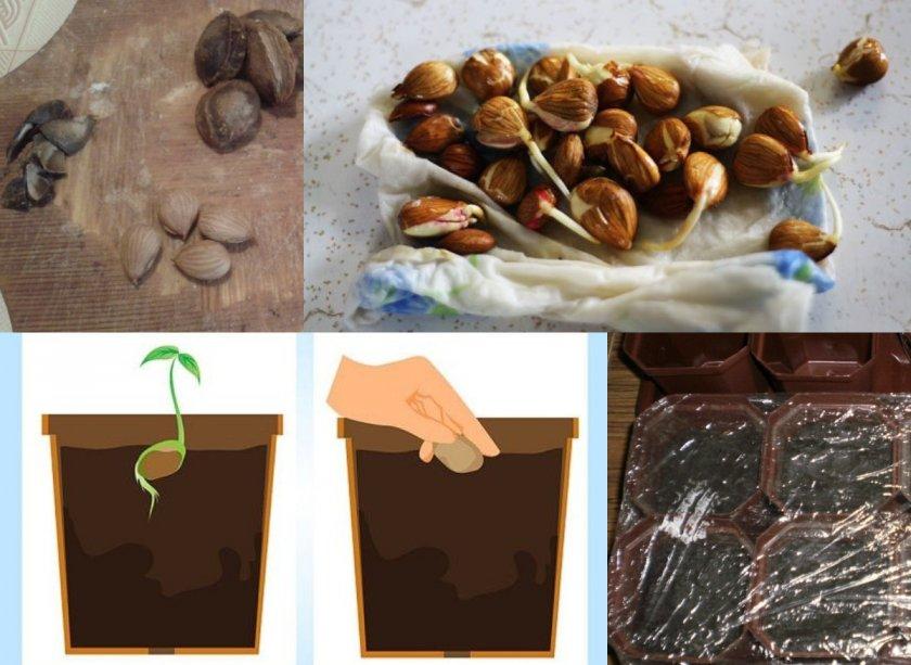 Посадка семян персика