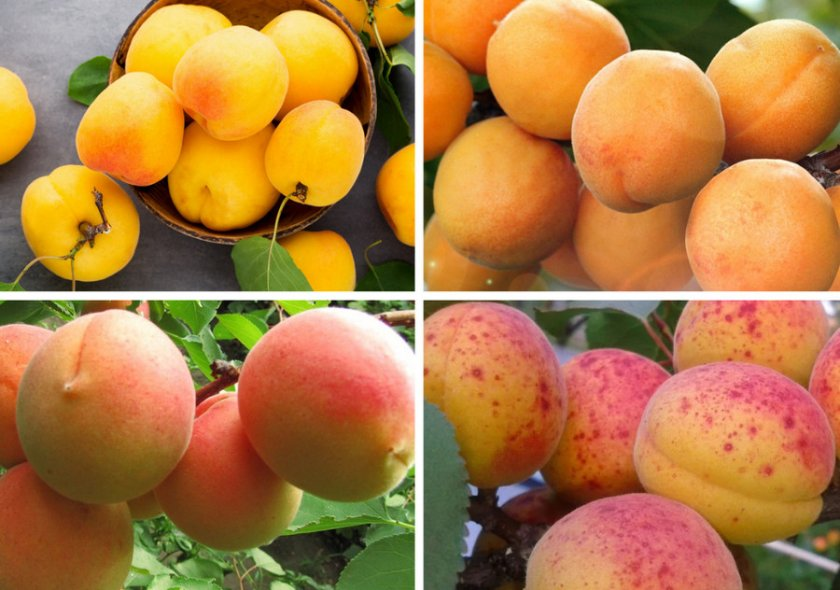 Виды окраса абрикосов