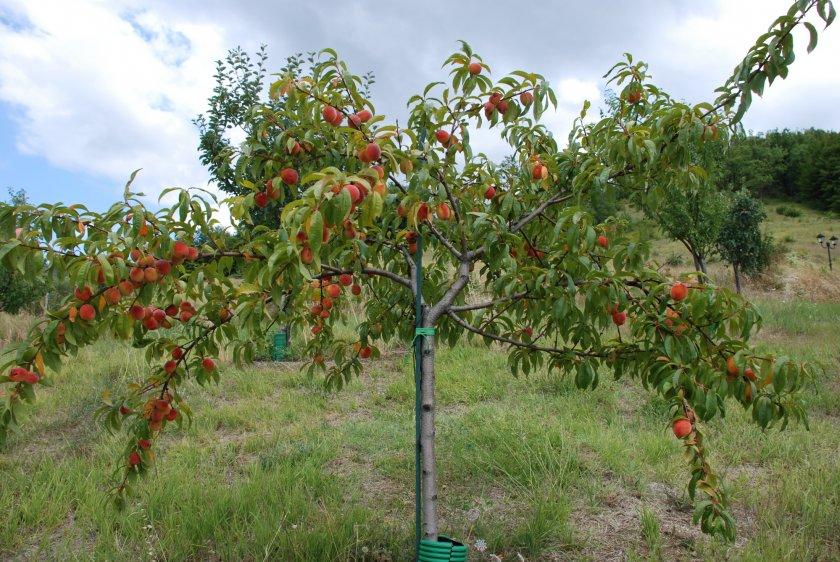 Сформированное персиковое дерево