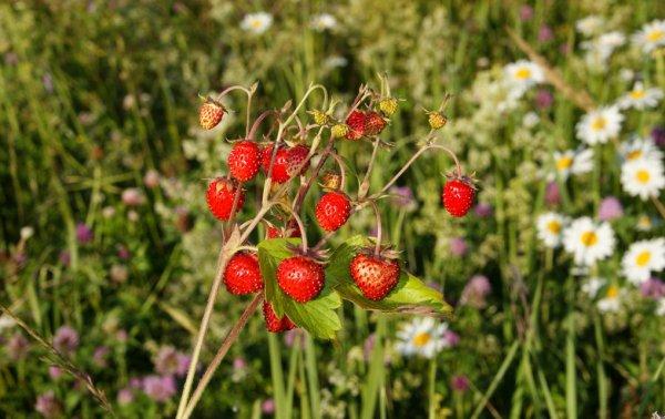 Луговые ягоды