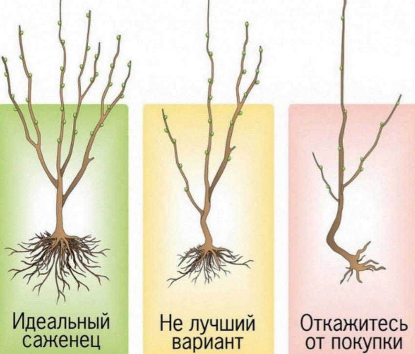 Выбор саженцев абрикоса