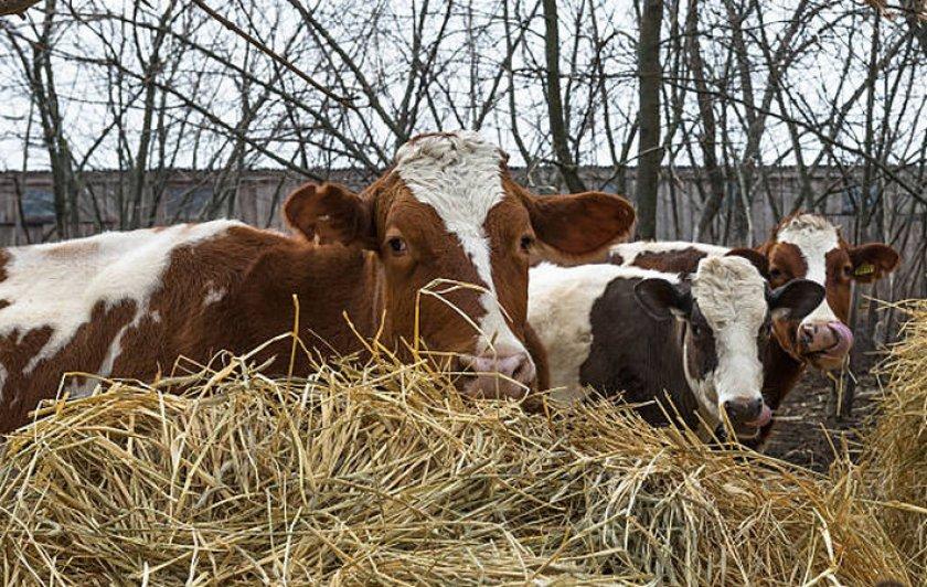 Сено для коров