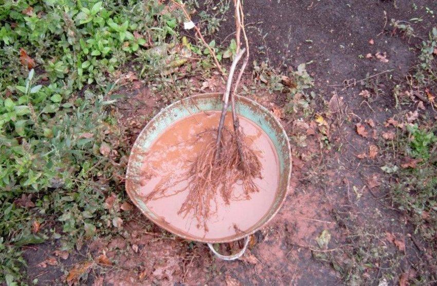 Замачивание корней саженца абрикоса