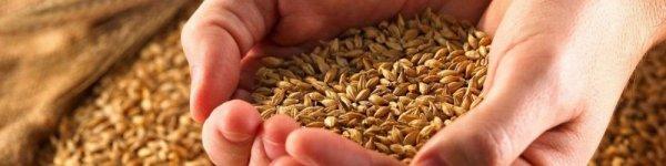 Какое зерно лучше для кур несушек?