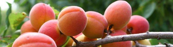Абрикос это ягода или фрукт