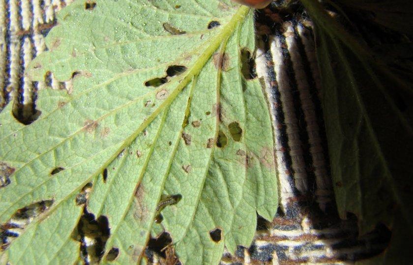 Вредители на листьях клубники
