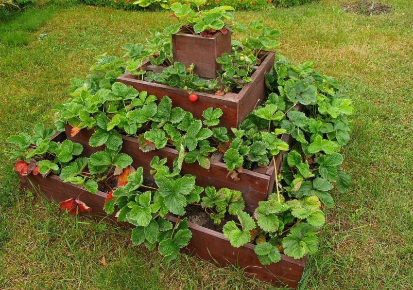 Выращивание клубники в пирамиде